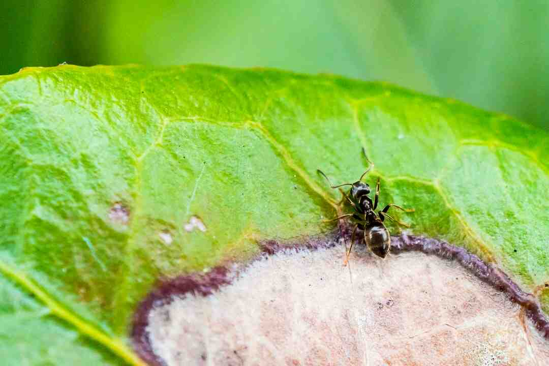 Comment se débarrasser des fourmis sur un arbre fruitier ?