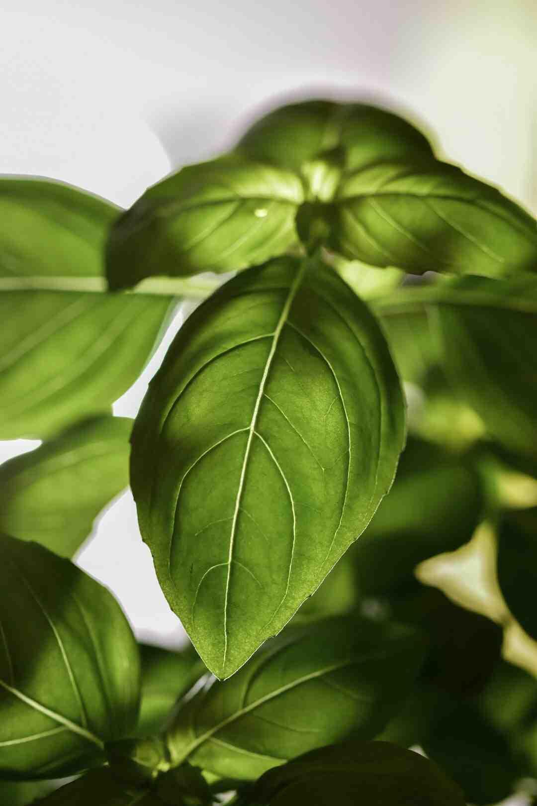 Comment garder un plant de basilic en pleine terre ?