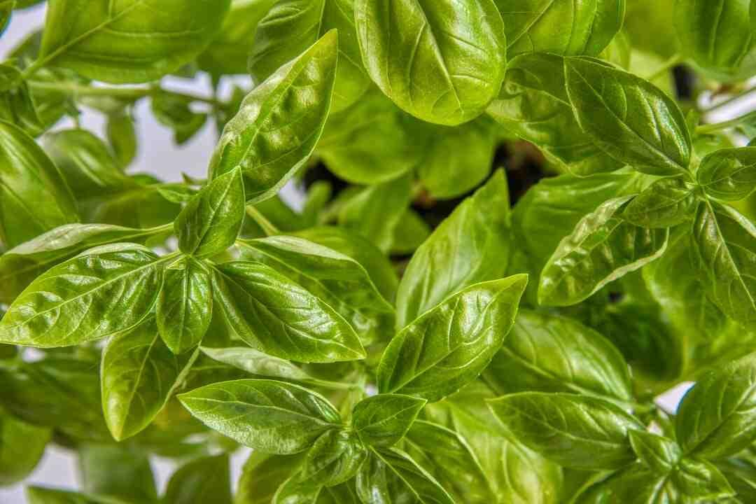 Comment réussir à faire pousser du basilic ?