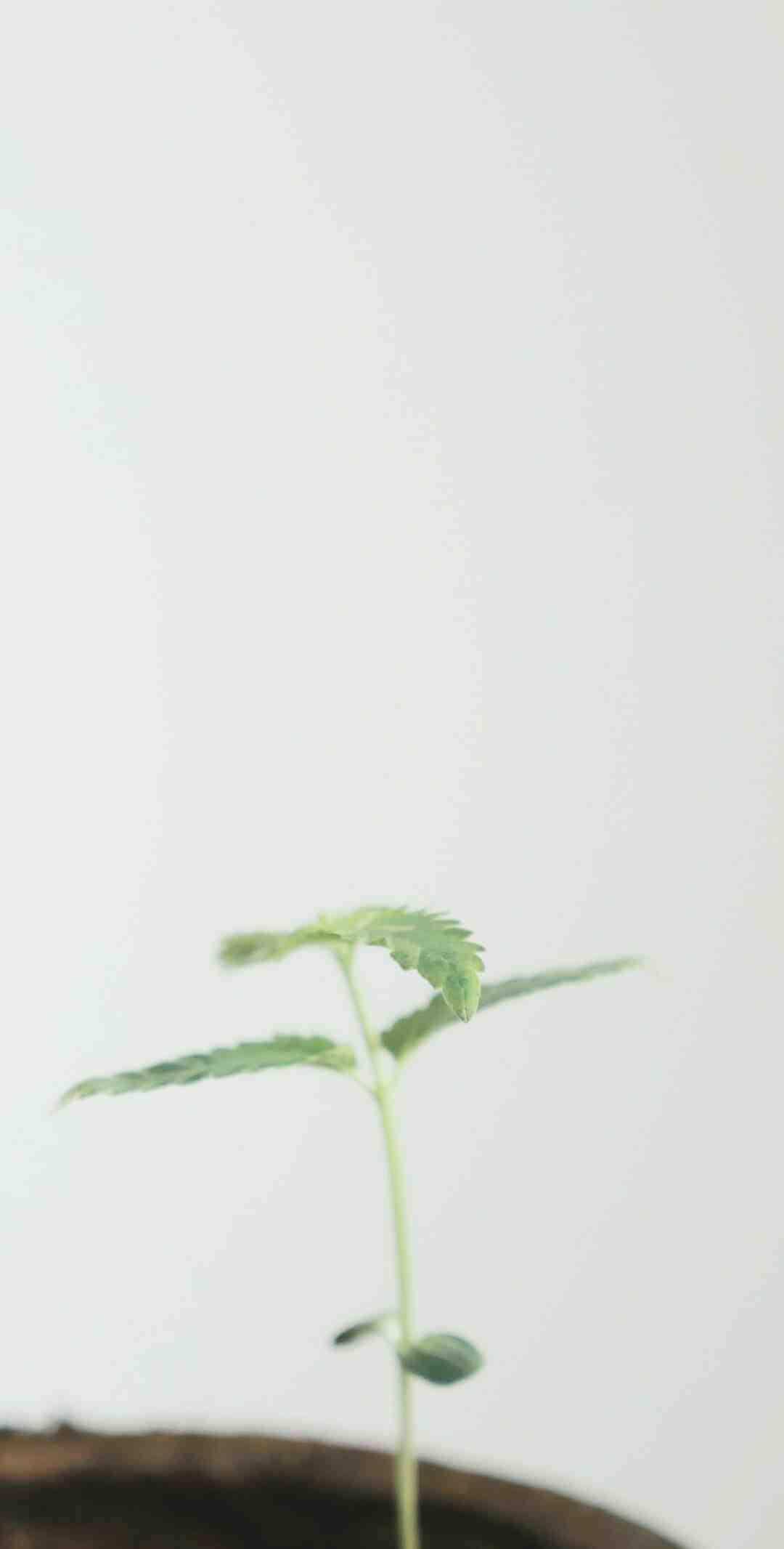 Quand commencer à faire pousser du cannabis ?