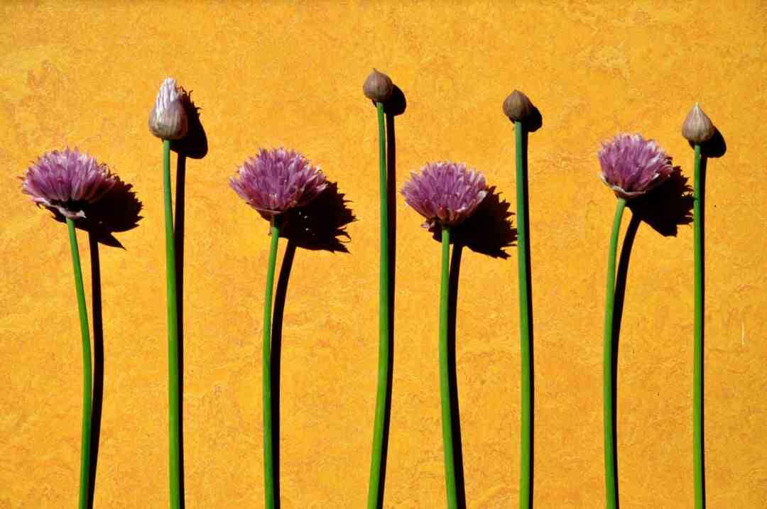 Quand couper les fleurs de la ciboulette ?