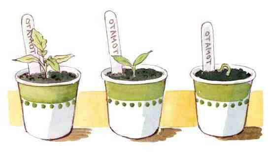 Comment faire germer les graines de tournesol ?