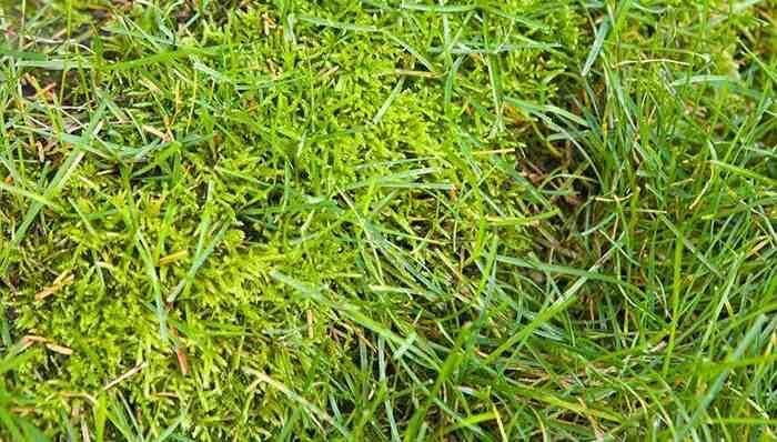 Comment recuperer une pelouse pleine de mauvaises herbes ?