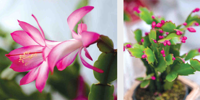 Comment savoir si un cactus va fleurir ?