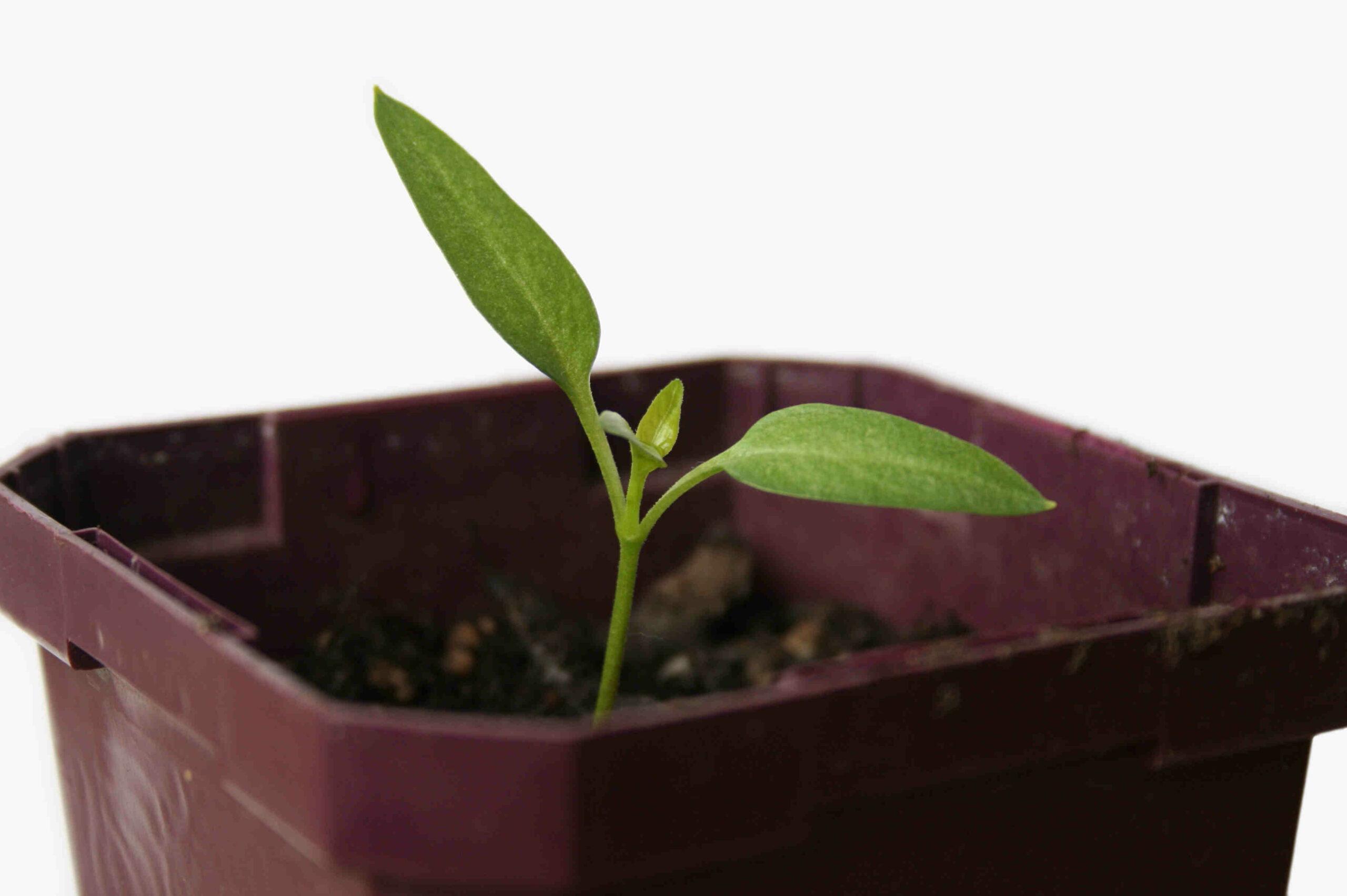 Quel arrosage pour les semis ?