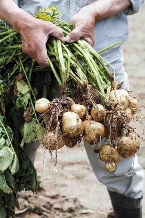 Comment avoir de grosses pommes de terre ?