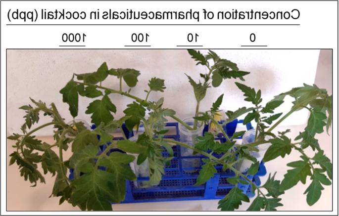 Comment booster les plants de tomates ?