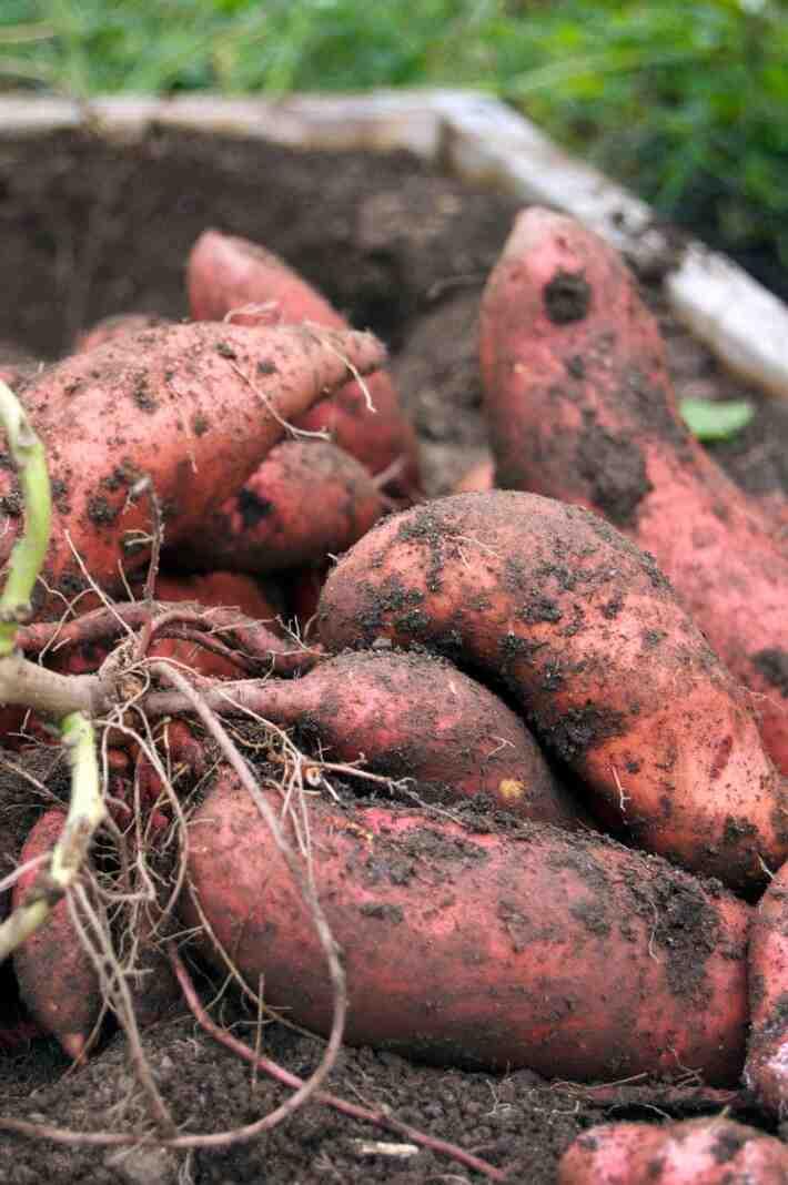 Comment conserver mes plants de pomme de terre ?