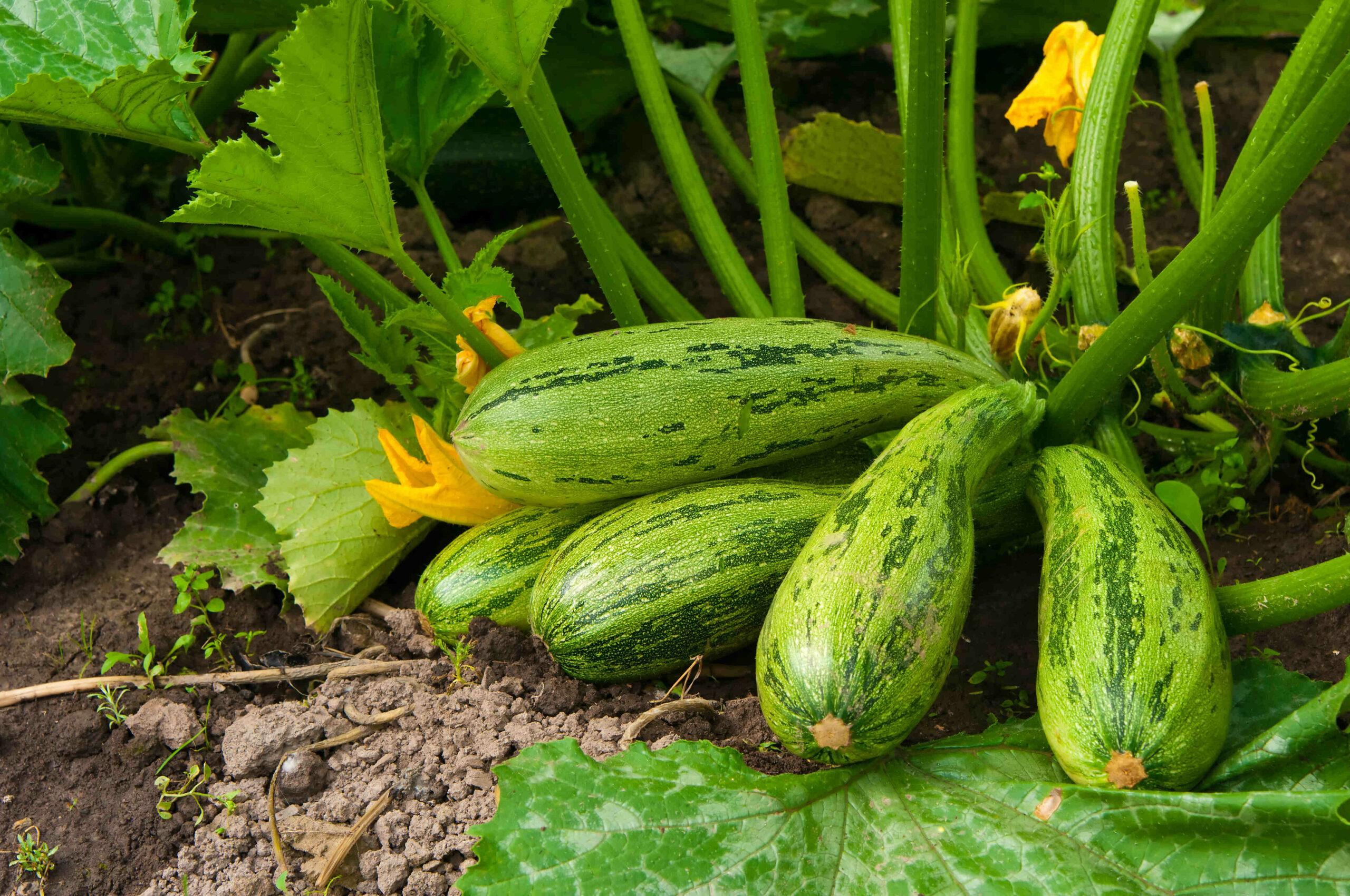 Comment cultiver les courgette non coureuse ?