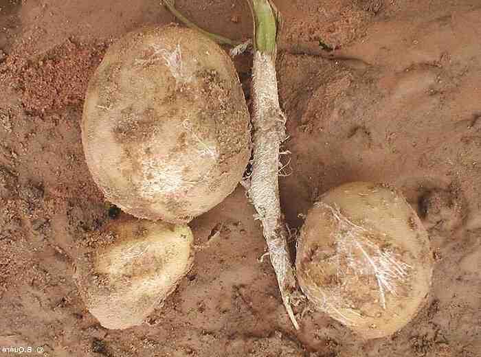 Comment enlever l'odeur de pomme de terre pourrie ?