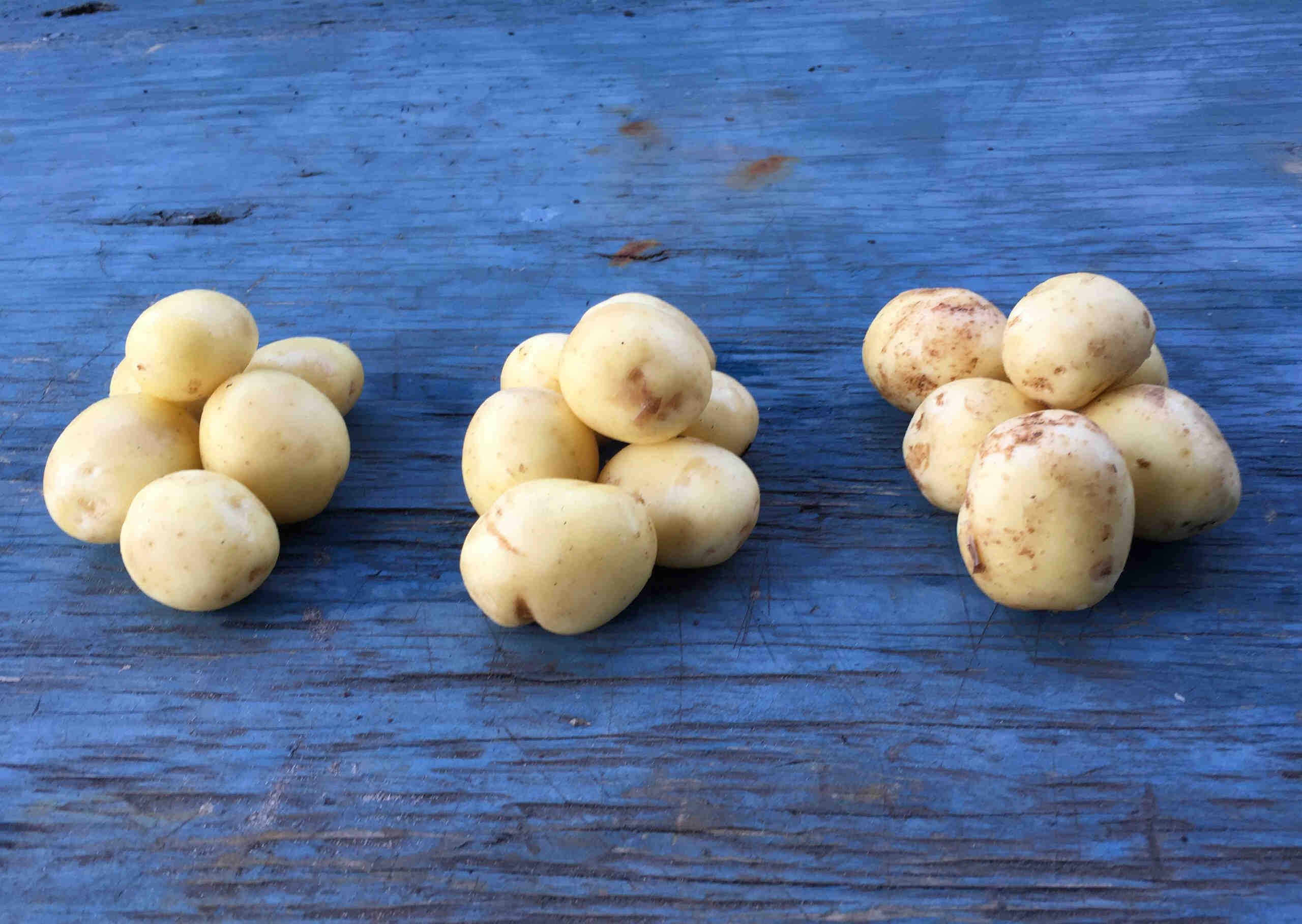 Comment entretenir un plant de pomme de terre ?