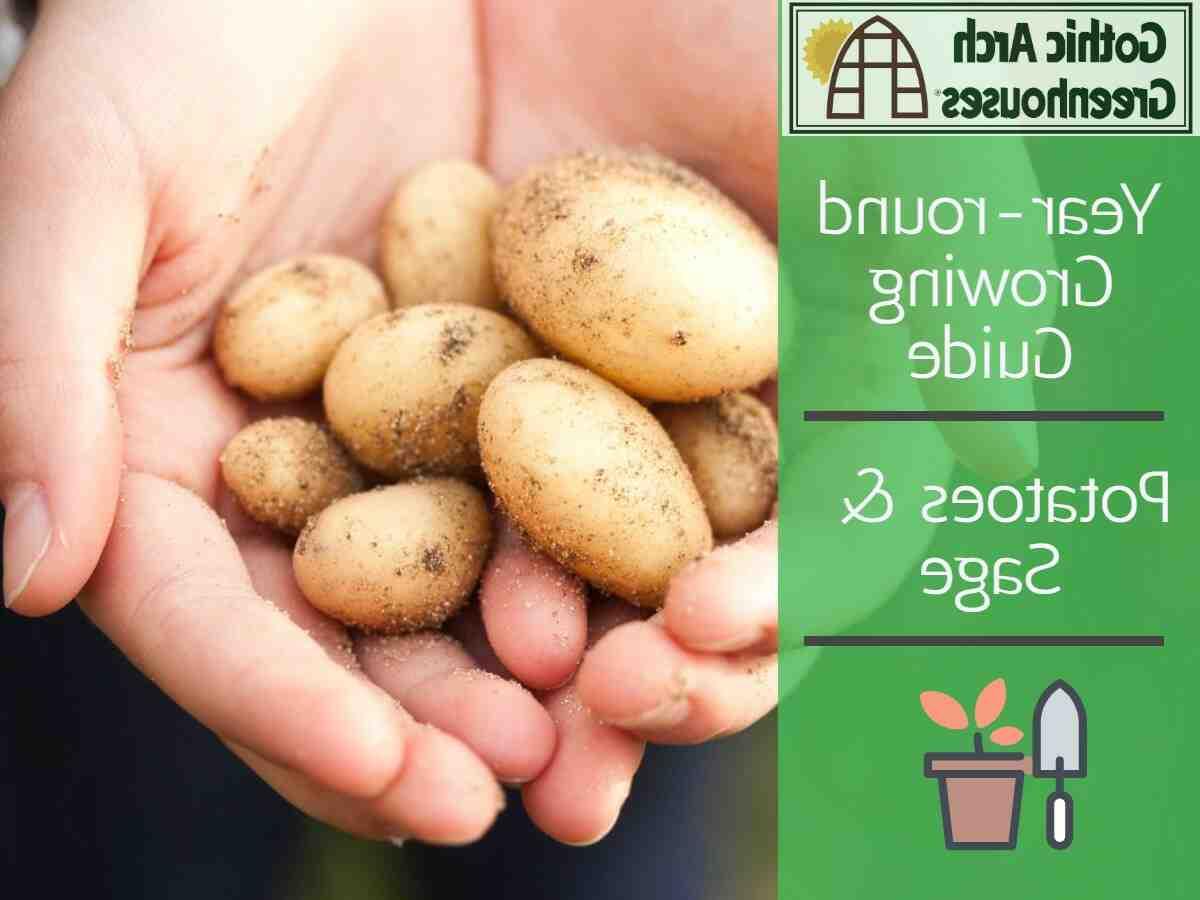 Comment faire grossir les pommes de terre ?