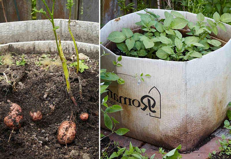 Comment faire pour avoir de grosses pommes de terre ?