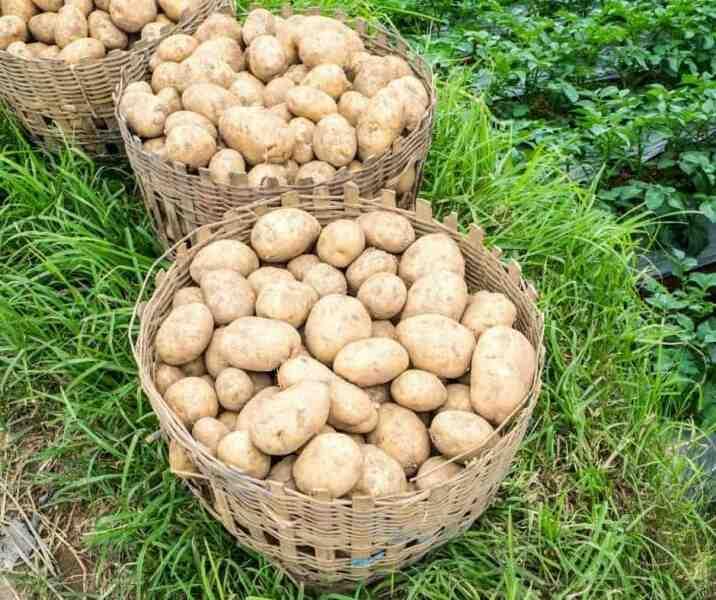 Comment faire pousser des patates dans une poubelle ?