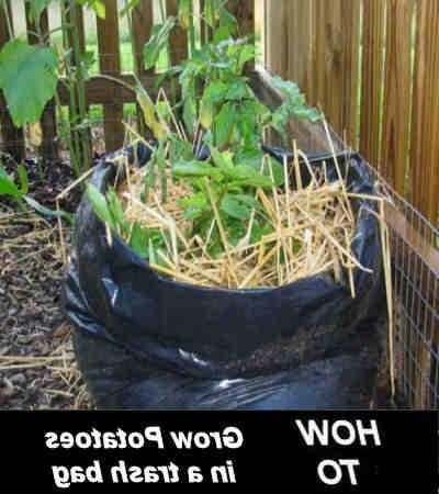 Comment faire pousser des pommes de terre chez soi ?