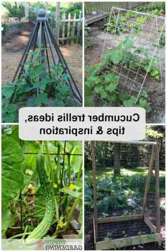 Comment faire pousser les concombres en hauteur ?