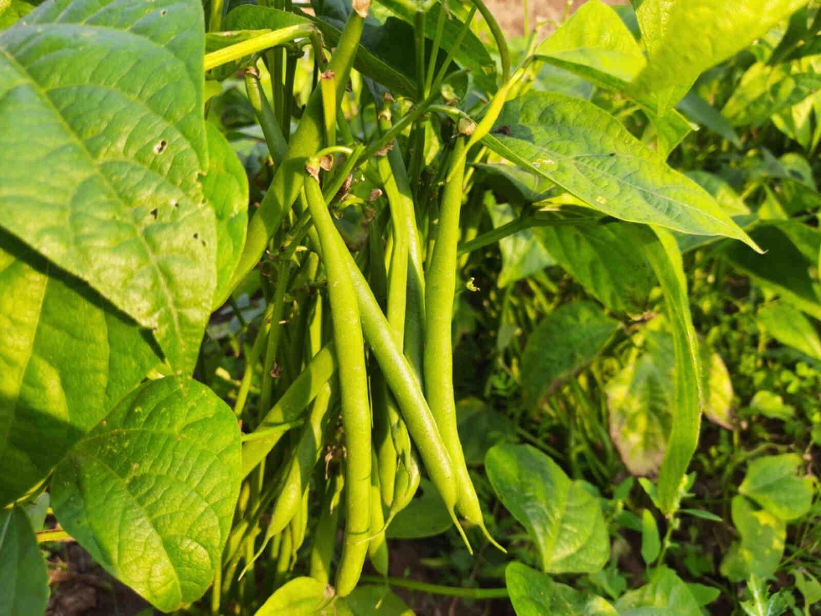 Comment faire pousser les haricots plus vite ?