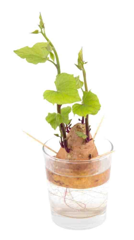 Comment faire pousser les pommes de terre dans la paille ?