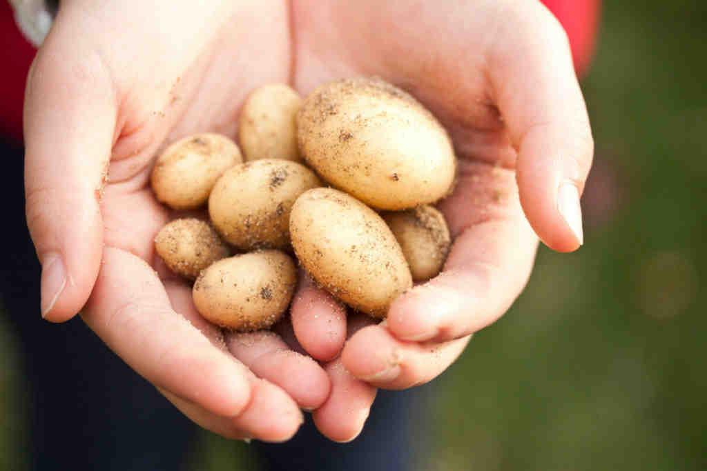 Comment planter des pommes de terre non germées ?