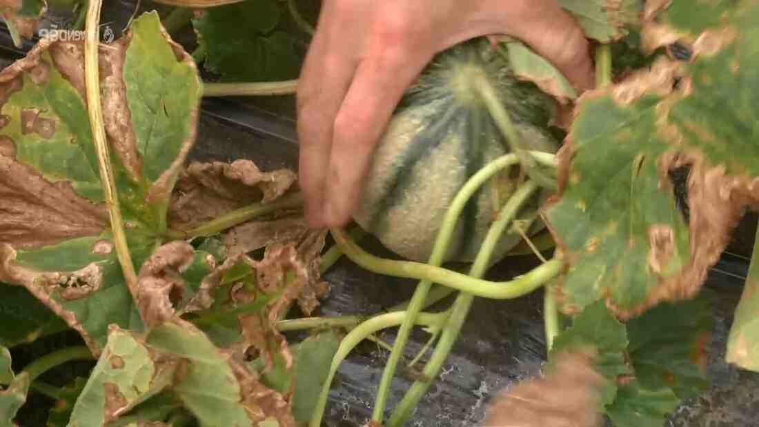 Comment planter les concombres en pleine terre ?