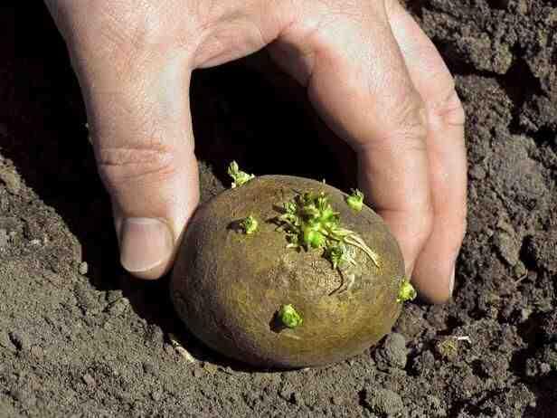 Comment planter les pommes de terre en 2020 ?