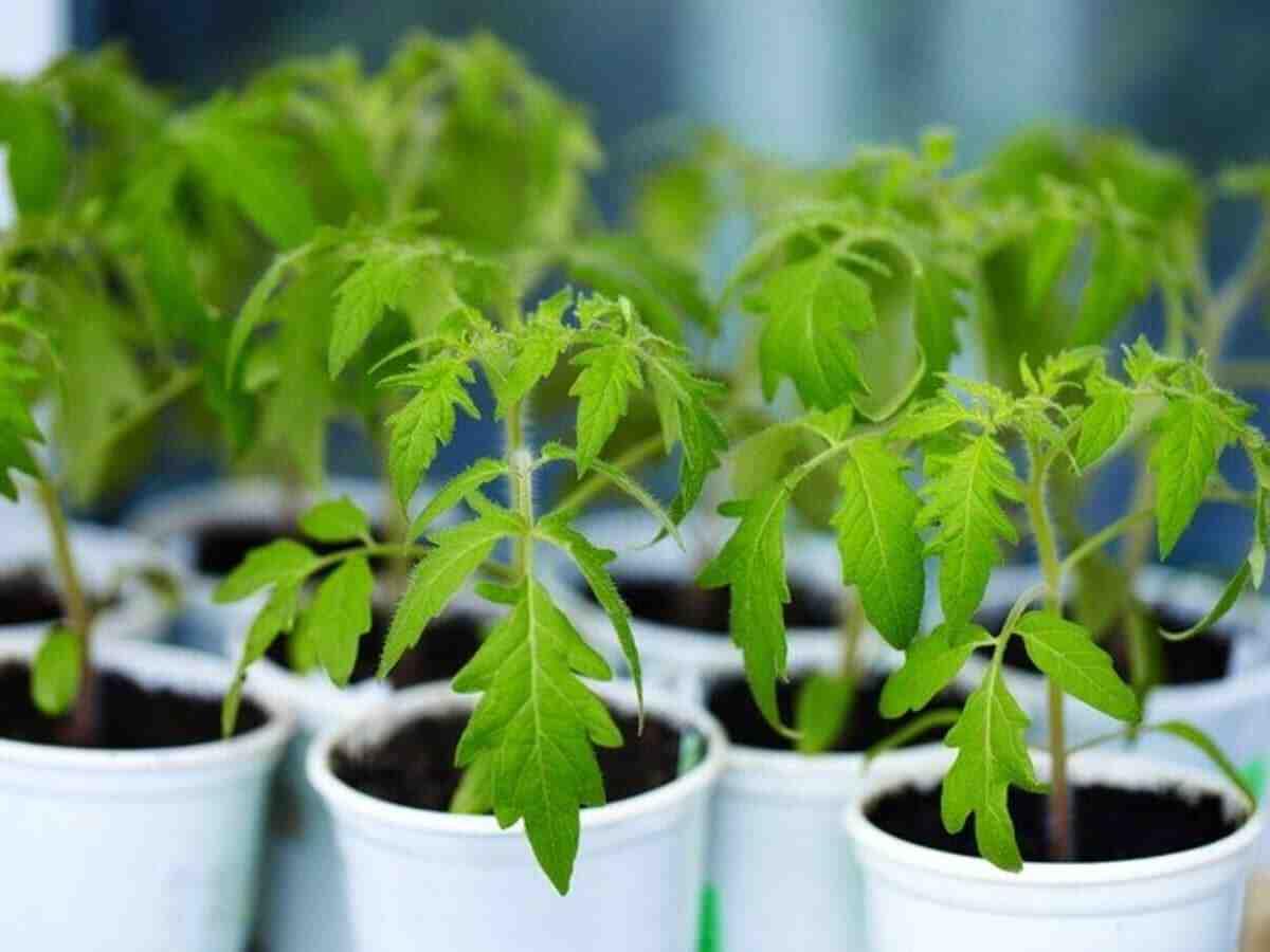 Comment planter les tomates en 2021 ?