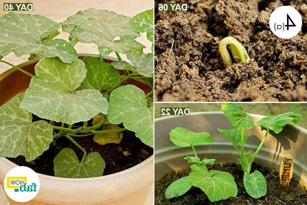 Comment planter potiron en pleine terre ?
