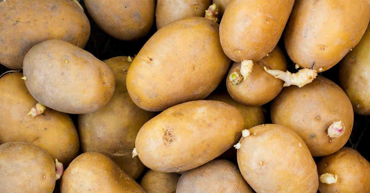 Comment reconnaître un plant de pomme de terre ?