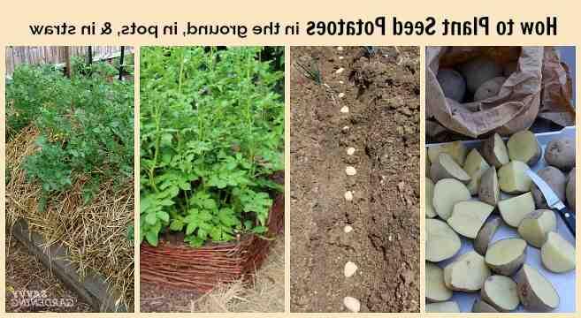 Comment savoir quand récolter les pommes de terre ?