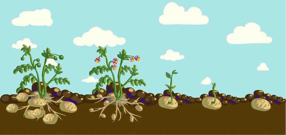 Comment savoir si les pommes de terre sont mûres ?