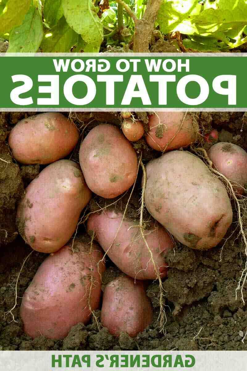 Est-ce qu'il faut arroser les pommes de terre ?