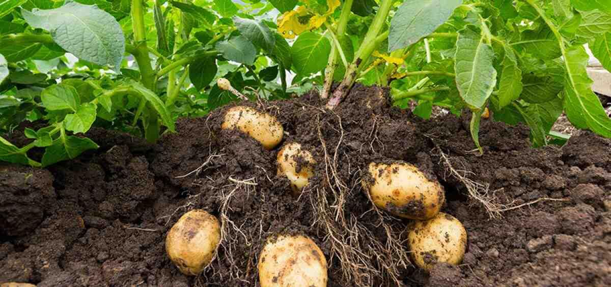 Est-il trop tard pour planter des pommes de terre ?