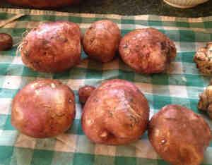 Où trouver de la poudre anti germe pour pomme de terre ?