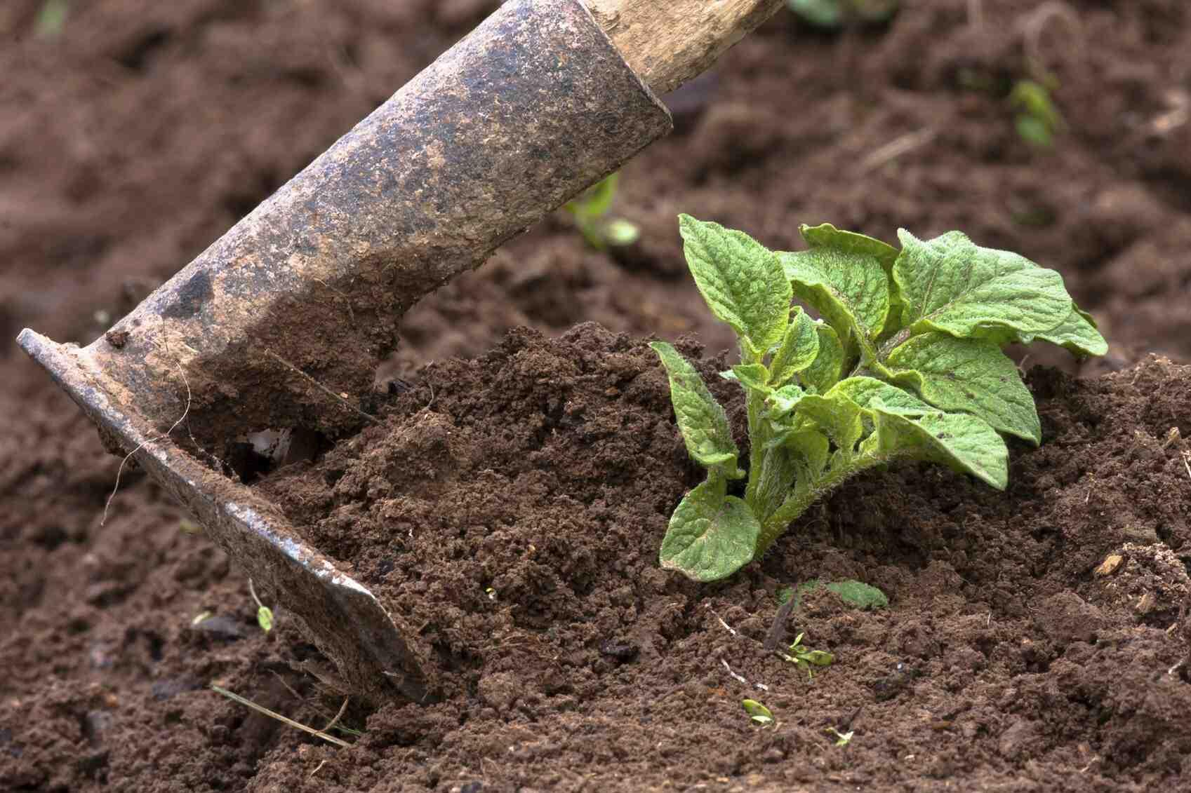 Pourquoi faire germer des pommes de terre ?