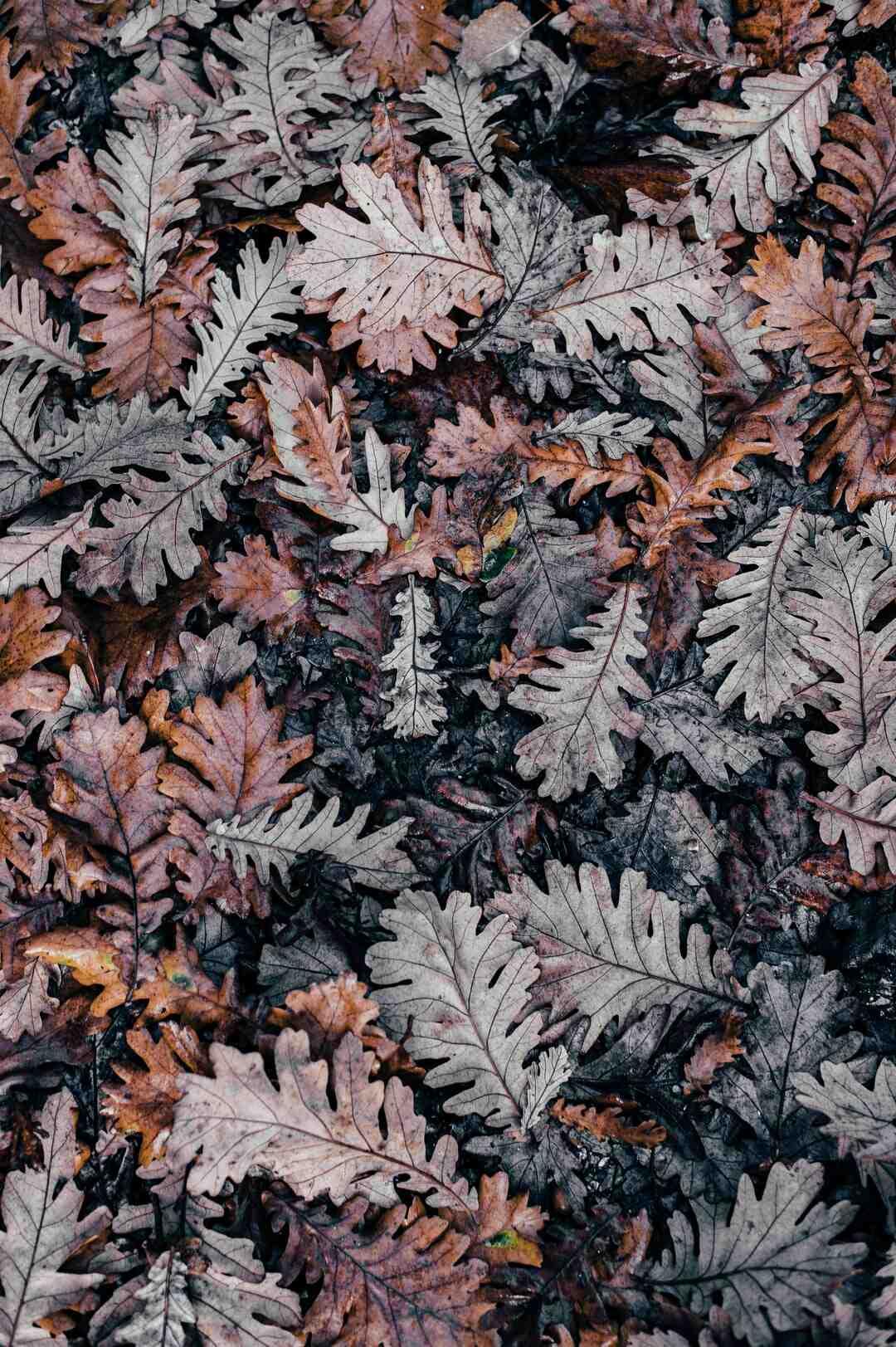 Pourquoi les feuilles noircissent au bout ?