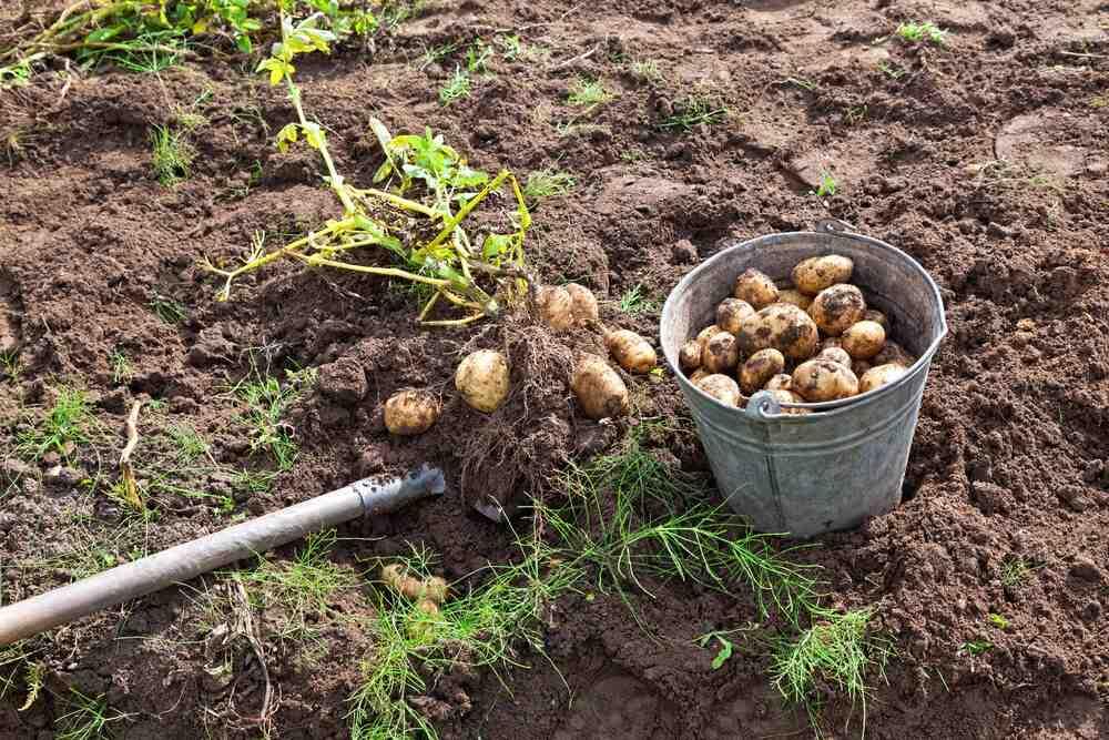 Pourquoi mes pommes de terre sont petites ?