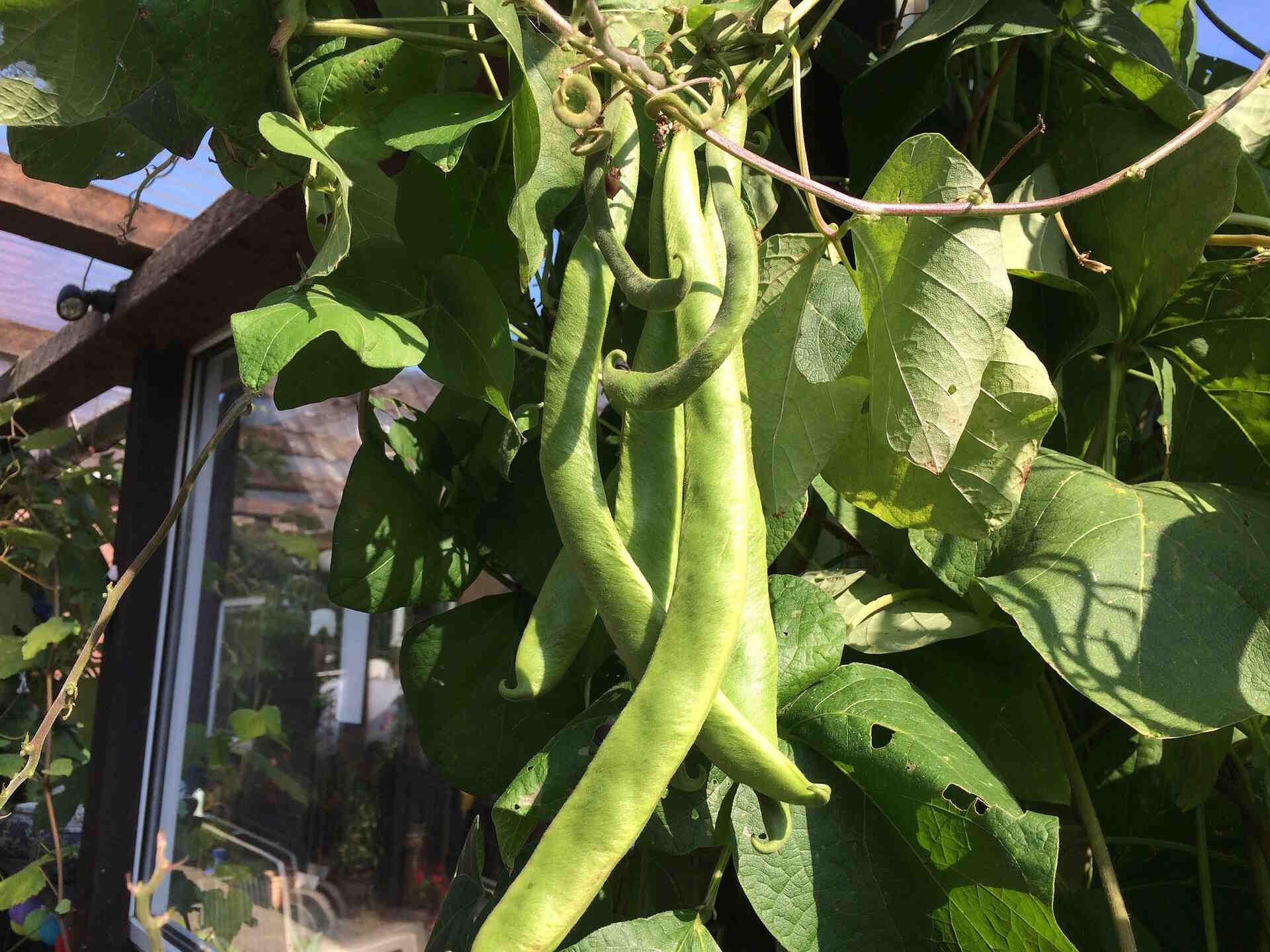 Puis-je semer des haricots verts aujourd'hui ?