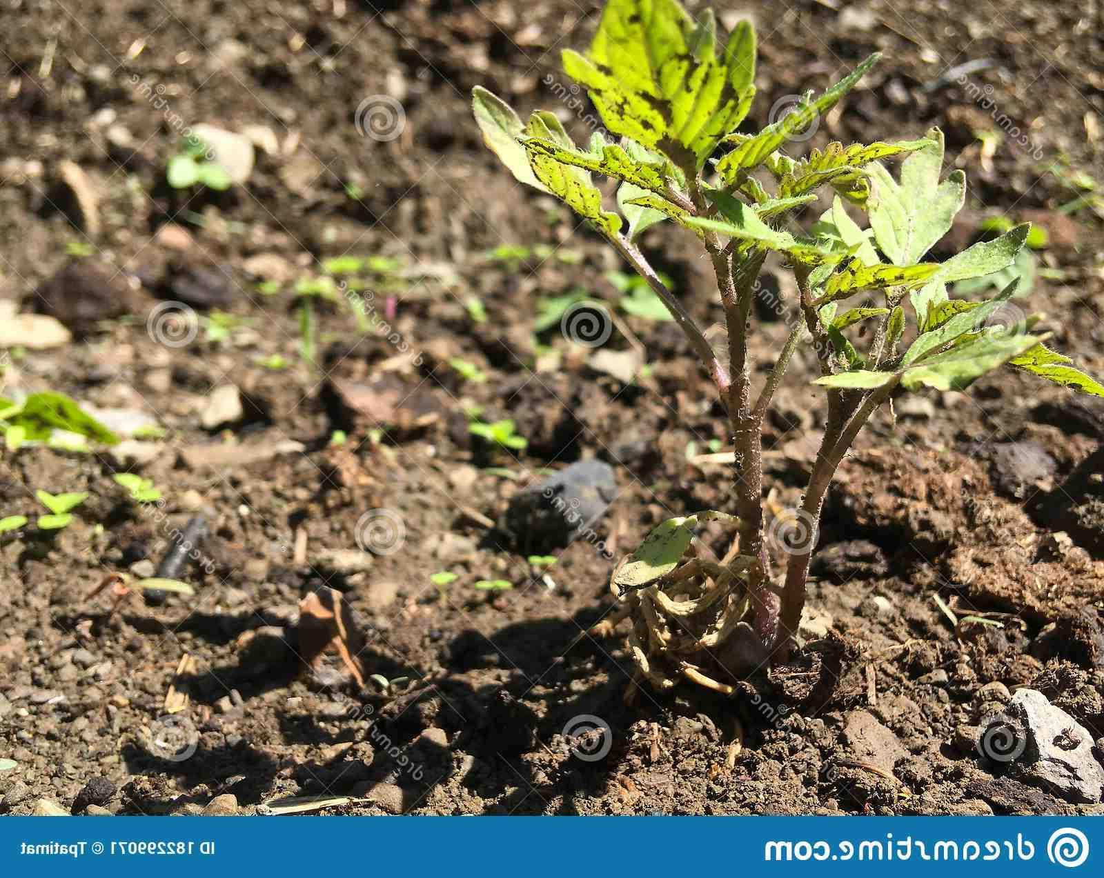 Quand mettre les plants de tomates dehors ?