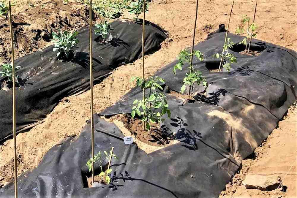 Quand planter des plants de tomates ?