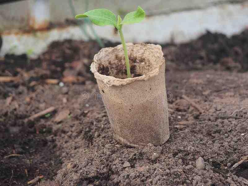 Quand planter les courgettes en godet ?