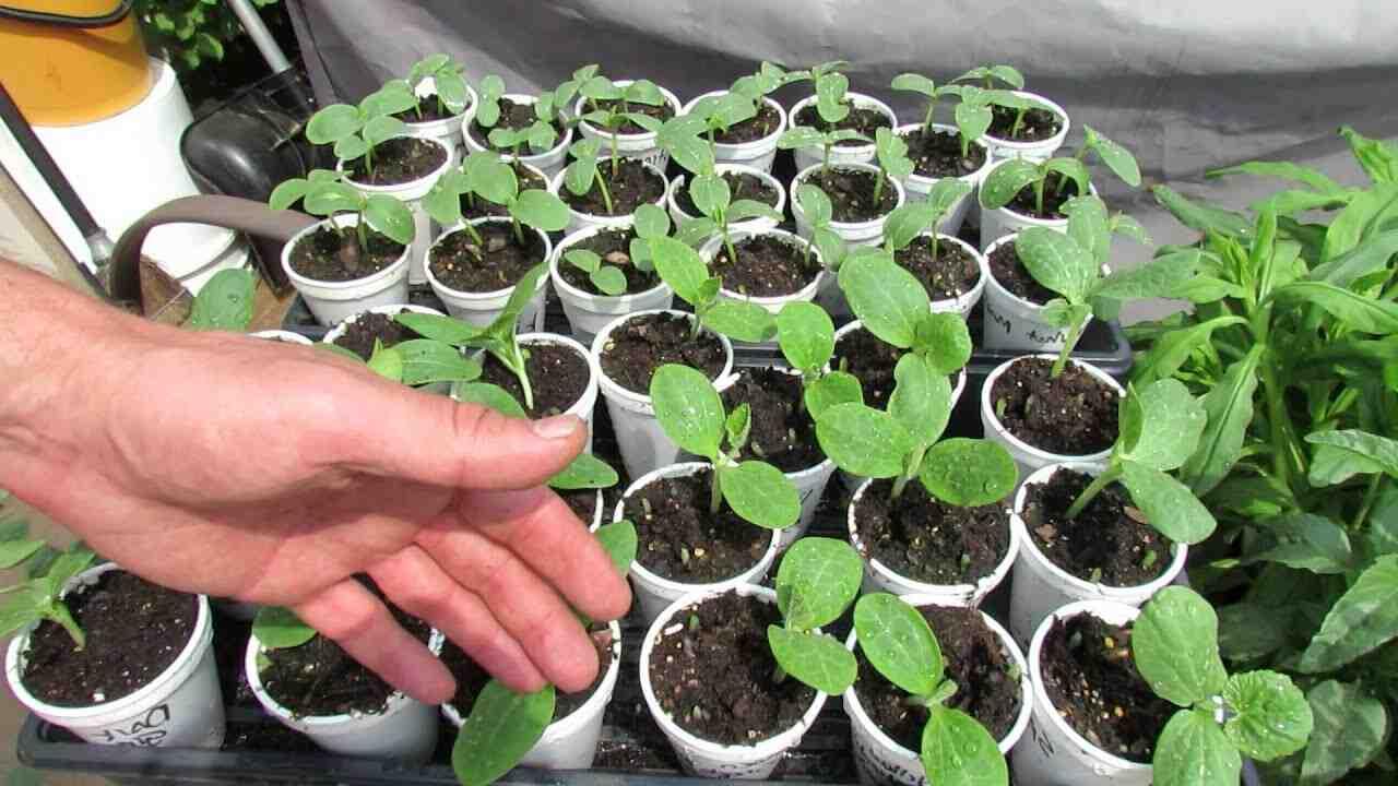 Quand planter les plants de tomates en pleine terre ?
