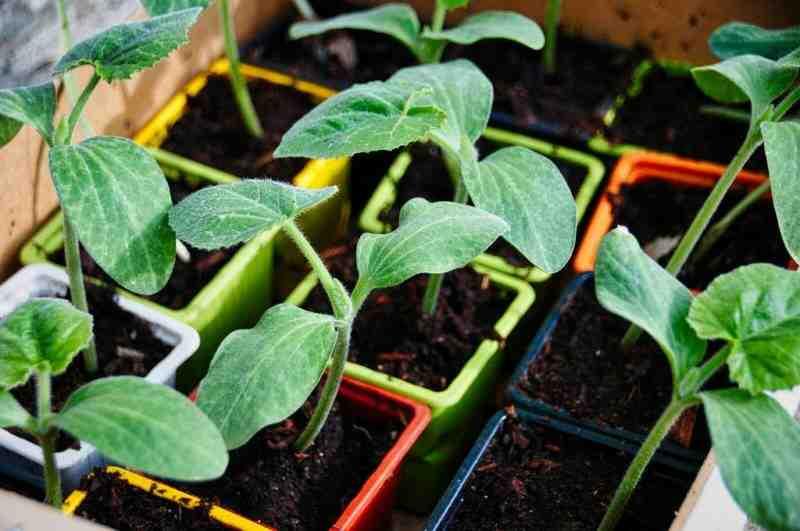 Quand rempoter les plants de tomates ?