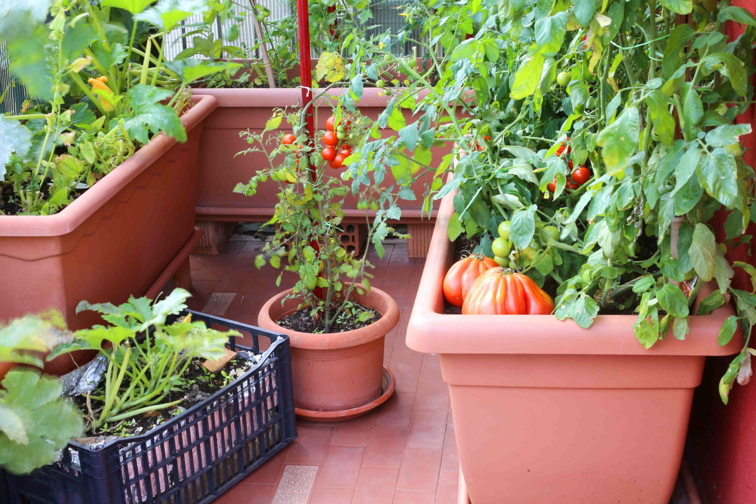 Quand repiquer les courgettes au jardin ?
