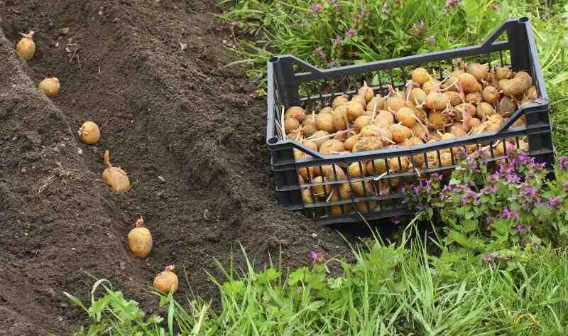 Quel est le meilleur engrais pour les pommes de terre ?