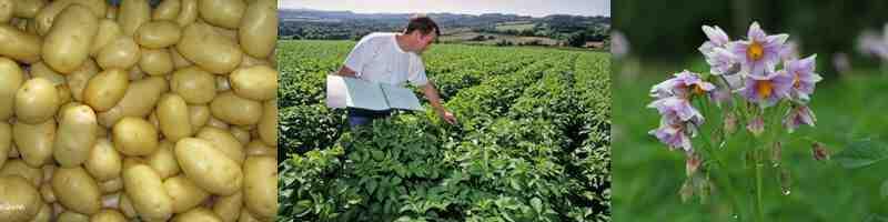 Quel légume ne pas planter à côté des pommes de terre ?
