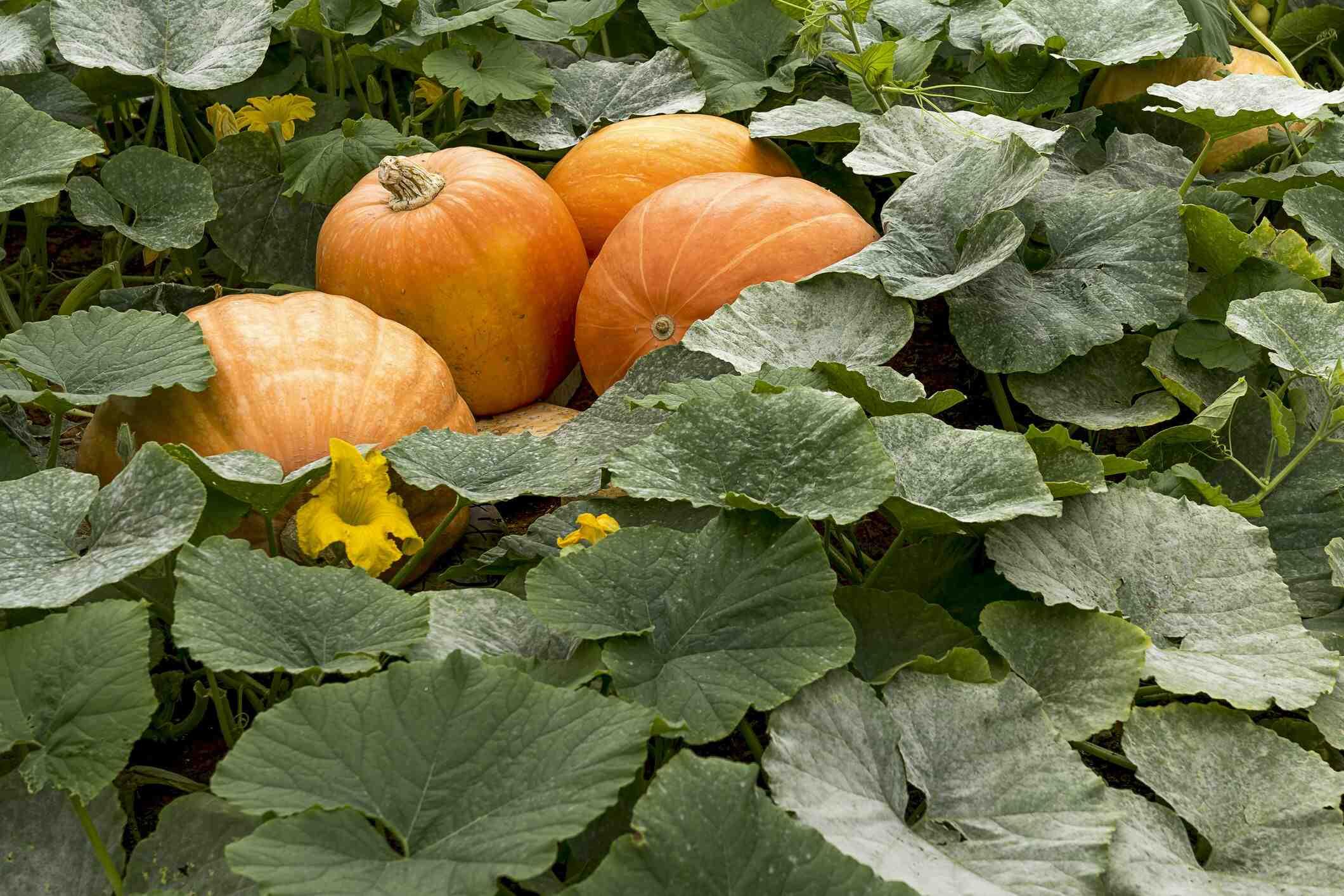 Quel légume ne pas planter à côté des tomates ?