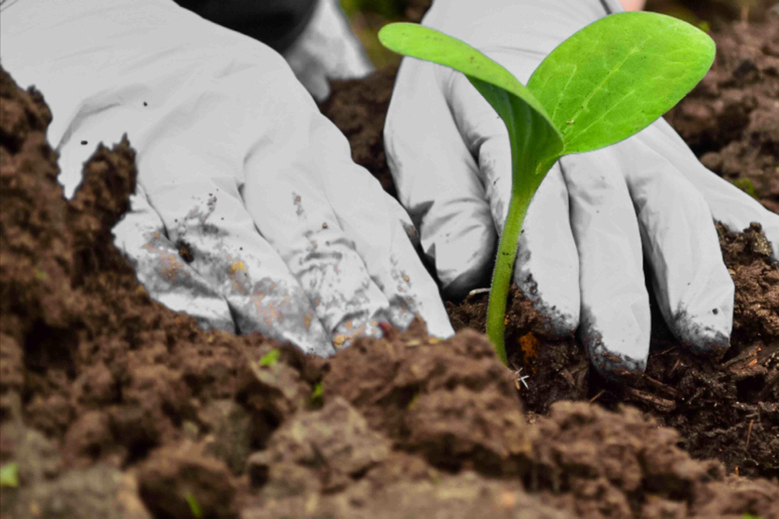 Quel légume planter à côté des courgettes ?