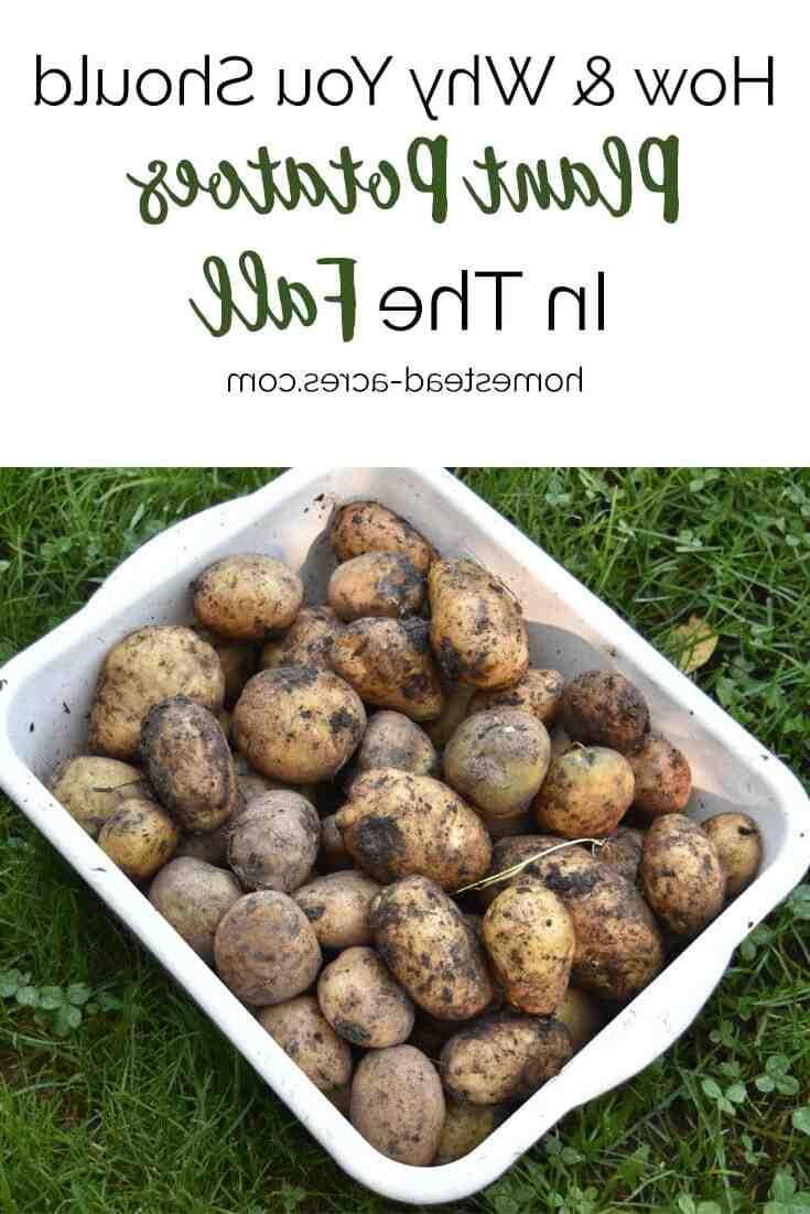 Quel rendement par plant de pomme de terre ?