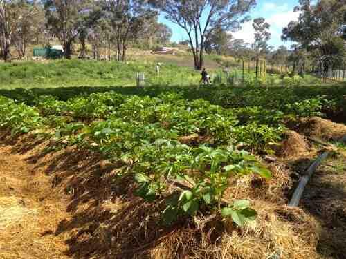 Quelle exposition pour planter des pommes de terre ?