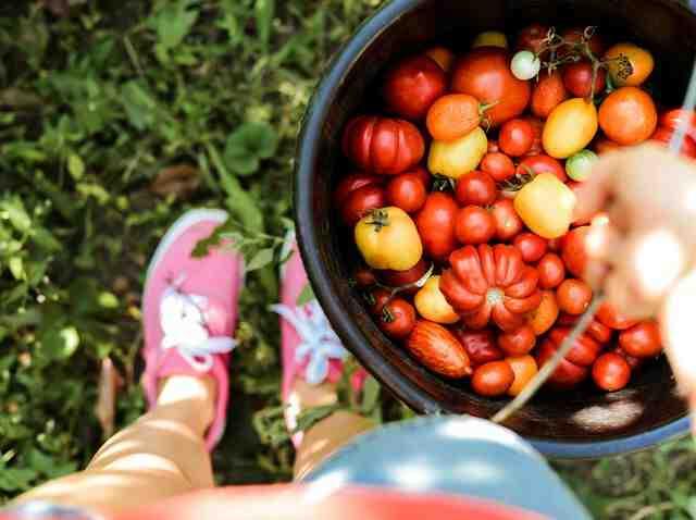 Quelle hauteur plant de tomate ?